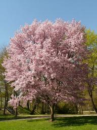 cherry-blossom-6507_640