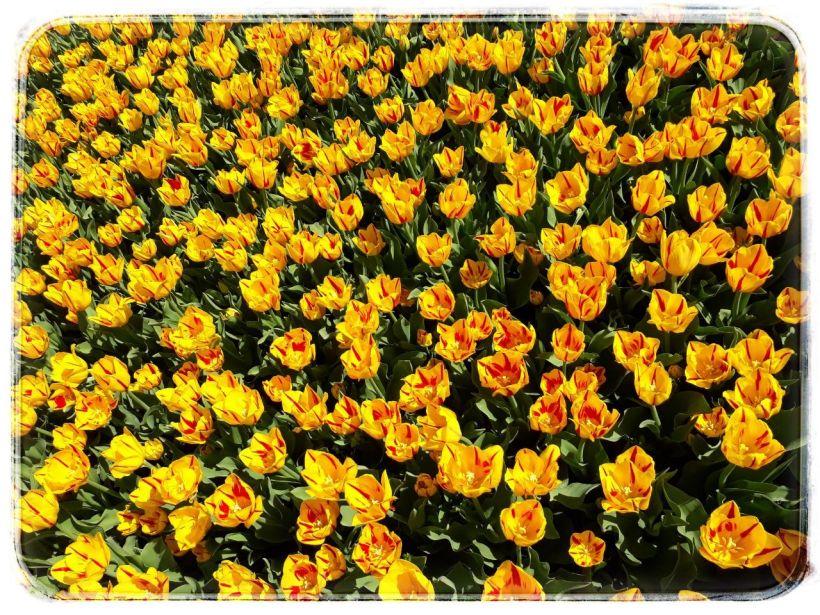 veel tulpen